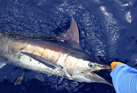 Radar is a major aid for all offshore fishing.  The author released this blue marlin off Bimini, Bahamas.