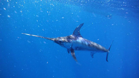 The 175-lb. swordfish, right before it charged Kevin Tierney.